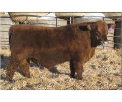 Grassy Meadow Ranch Annual Bull Sale in January