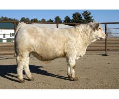 Severance Diamond Charolais & Angus Annual Bull Sale in February