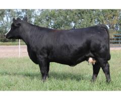 Irive Ranch Annual Simmental Production Sale November 3rd, 2018