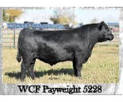 Currant Creek Angus Ranch Fall Production Sale Dec. 1, 2018