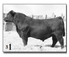 Weller Angus Ranch 38th Annual Bull & Female Sale Nov. 27, 1018