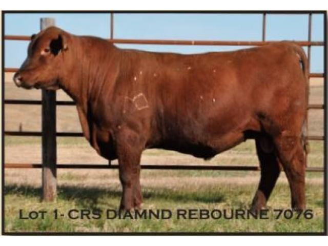 Red Angus Bull & Female Production Sale Dec. 10, 2018