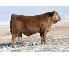 Golden Buckle Gelbvieh Private Treaty Bull & Female Sale