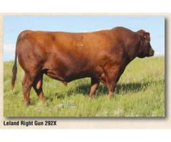 Koester Pick of Bred Heifers – Jan. 13, 2019 - Red Angus Bull Sale March 8, 2019