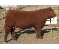 Red Angus and South Devon Bulls by Private Treaty